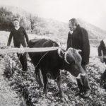Παραδοσιακός τρύγος του καλαμποκιού στην Ποταμούλα