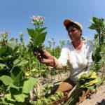 Το μεσουράνημα του καπνού στην Αιτωλοακαρνανία