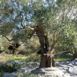 Το μάζεμα της ελιάς στα Παλιάμπελα
