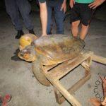 Διάσωση χελώνας καρέτα-καρέτα στο Διόνι