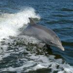 Γνωρίστε τα προστατευόμενα ρινοδέλφινα του Αμβρακικού κόλπου
