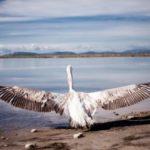 Απελευθέρωση παρυδάτιων πουλιών στο Εθνικό Πάρκο Λιμνοθαλασσών Μεσολογγίου-Αιτωλικού