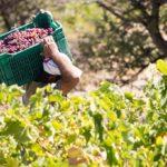 Το κρασί και τα αμπέλια από τον Οινέα μέχρι σήμερα!