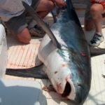 Καρχαρία μήκους 4 μέτρων έπιασαν ψαράδες στον Μύτικα!