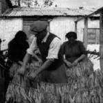 Η επεξεργασία του καπνού στον κάμπο του Αγρινίου το 1954 (video)