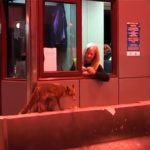 H υπάλληλος στα διόδια Ακτίου ταΐζει αλεπού! (video)