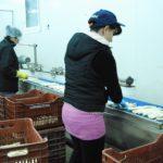 Πρόσληψη εργατών για το συσκευαστήριο στη Γουριά