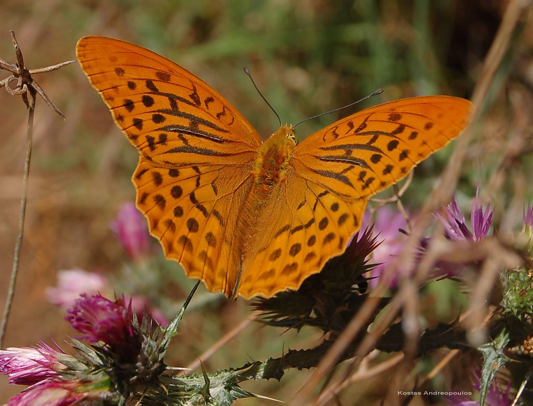 Οι φανταστικές πεταλούδες της ορεινής Ναυπακτίας   AgrinioPress