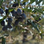 Άκρως ενθαρρυντικά για τις τιµές παραγωγού άνοιξε η σεζόν στην ελιά Καλαµών