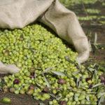 12.000 ελαιόδεντρα Καλαμών χτύπησε το χαλάζι στην Αιτωλοακαρνανία