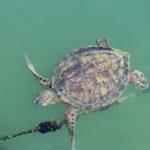 Στην Αμφιλοχία ζει η πιο σπάνια στην Ελλάδα πράσινη χελώνα Chelonia mydas