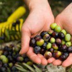 Σε απόγνωση με τη φετινή σοδειά οι ελαιοπαραγωγοί στη Ναύπακτο