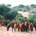 «Ανεγκέφαλοι» σκότωσαν άγρια άλογα στον Πεταλά