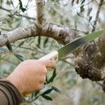 Πως θα κλαδέψετε σωστά τις ελιές σας!
