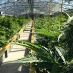 «Πράσινο φως» για καλλιέργεια και μεταποίηση φαρμακευτικής κάνναβης στο Αιτωλικό