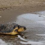 Ανησυχία για τις νεκρές και τραυματισμένες χελώνες Caretta caretta στη Λιμνοθάλασσα Μεσολογγίου