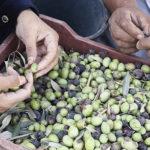 Η Ένωση Αγρινίου ανακοίνωσε τιμές παραλαβής για τις πράσινες ελιές