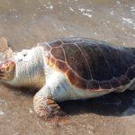 Ακόμη μια νεκρή χελώνα caretta-caretta στην περιοχή της Τουρλίδας