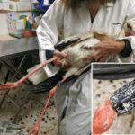 Τραυματισμένος στην Κρήτη βρέθηκε πελαργός που δακτυλιώθηκε στο Πεντάλοφο Μεσολογγίου
