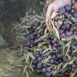 Ερώτηση για την πτωτική τάση της τιμής της επιτραπέζιας ελιάς Καλαμών στο Μεσολόγγι