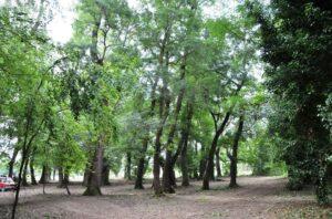 Το δάσος του φράξου στο Τριχώνιο Αγρινίου