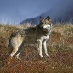 Ερώτηση Κυρ. Βελόπουλου για τις επιθέσεις λύκων σε κτηνοτρόφους και κατοίκους της Αμφιλοχίας