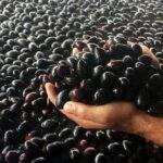 Η πλειοψηφία των παραγωγών της Αιτωλοακαρνανίας χάνουν την έκτακτη ενίσχυση για την ελιά Καλαμών
