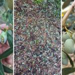 Το χαλάζι «σφυροκόπησε» τις ελιές στη Σταμνά Μεσολογγίου